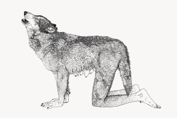 gray wolf1